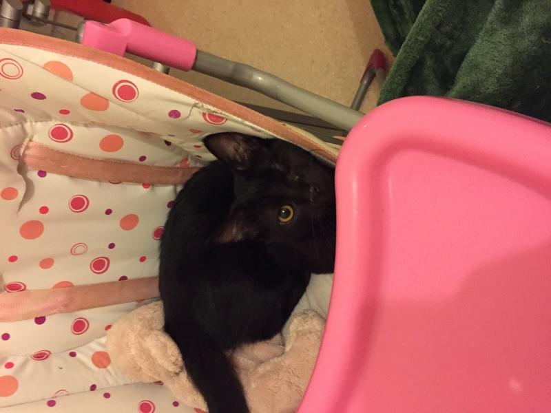 milord - Milord, chaton noir né le 01/05/2016 Image23