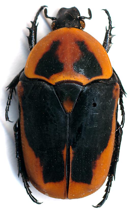 Pachnoda orphanula du Bénin ♀ Pachno11