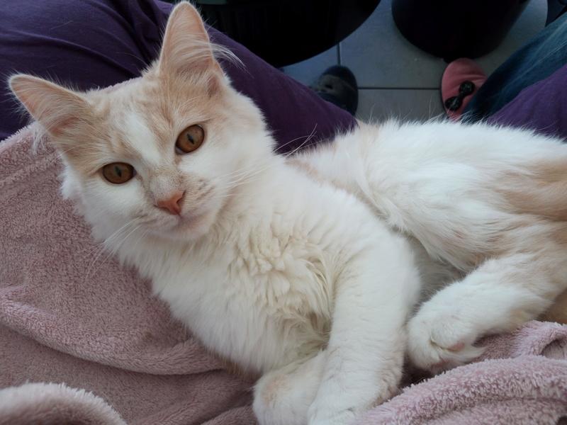 leonard - Léonard, mâle, roux et blanc, type européen, né en septembre 2015 Img_2017