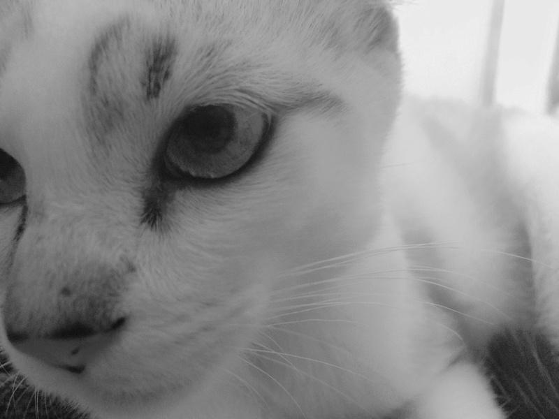 mincky - MINCKY – Jeune mâle crème fauve et blanc – croisé siamois -  né en mars 2016  Fichie13