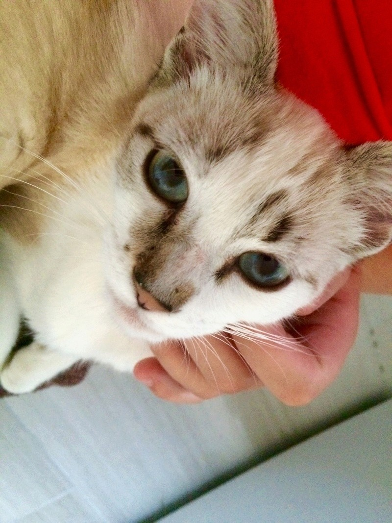 mincky - MINCKY – Jeune mâle crème fauve et blanc – croisé siamois -  né en mars 2016  Fichie16