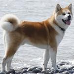 Акита - большая японская собака Akita_10