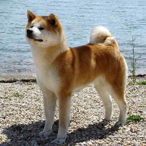 Акита - большая японская собака Color-19