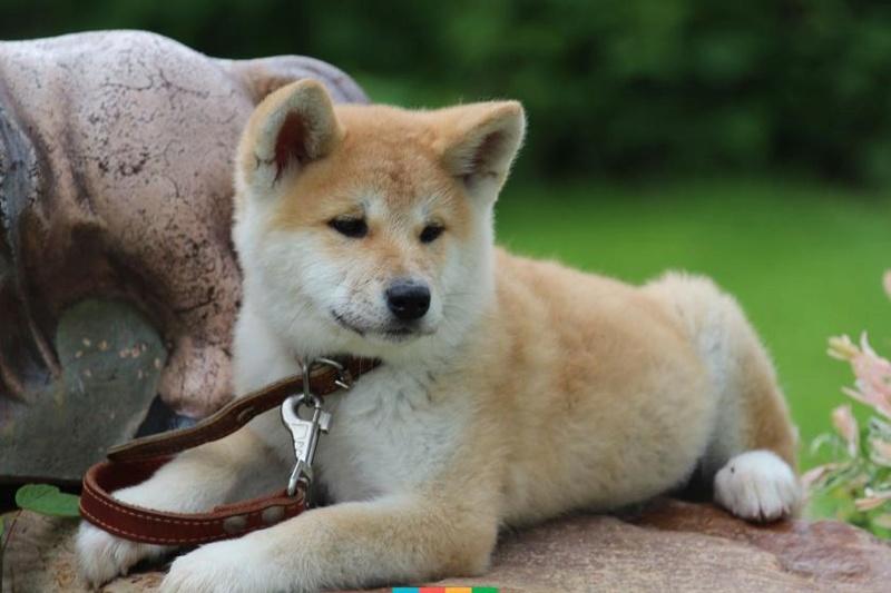 Акита - большая японская собака Galler21