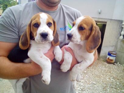 Dressage Beagle Img_2010