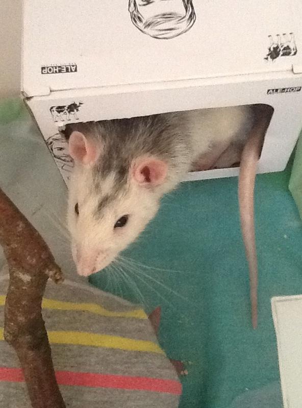 Donne rat husky URGENT + cage et reste nourriture Image10
