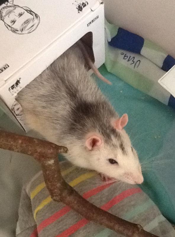 Donne rat husky URGENT + cage et reste nourriture Image11