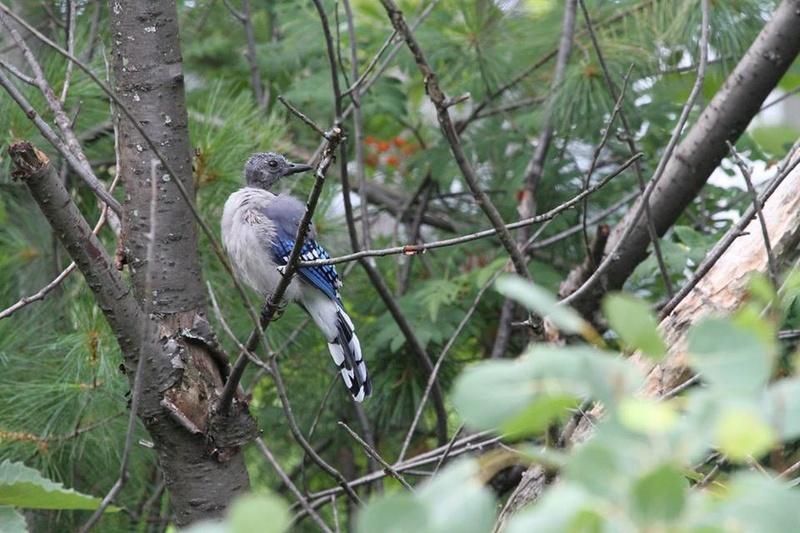 giae bleu en début d'automne  (photo prise chez moi 3-R) 10341611