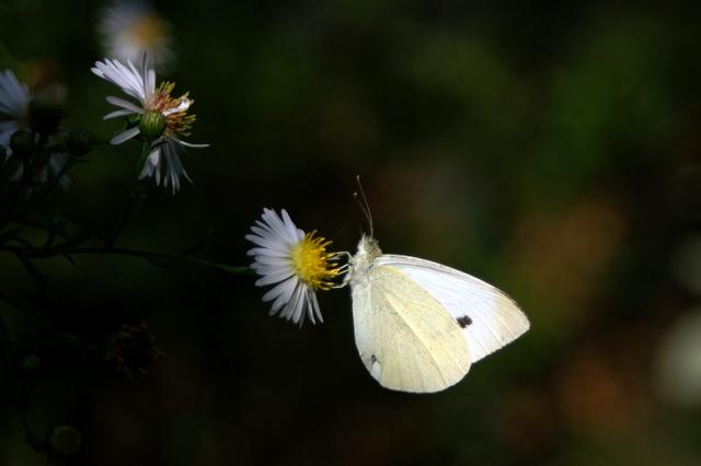 papillon blanc Pict0010
