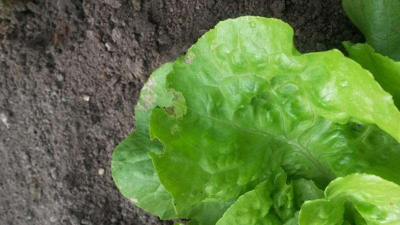 Problème sur mes salades 20160912