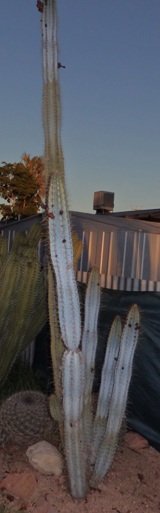 Help with two large Cacti ID Cereus10