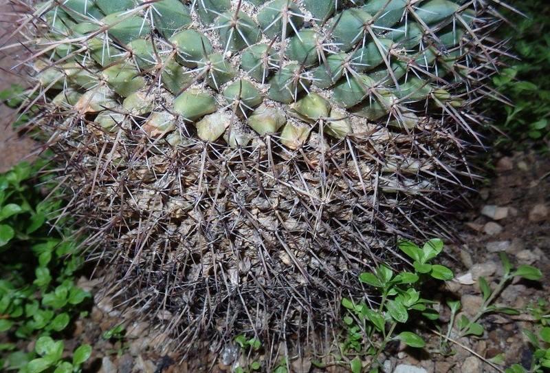 Cactus scarring P9160016