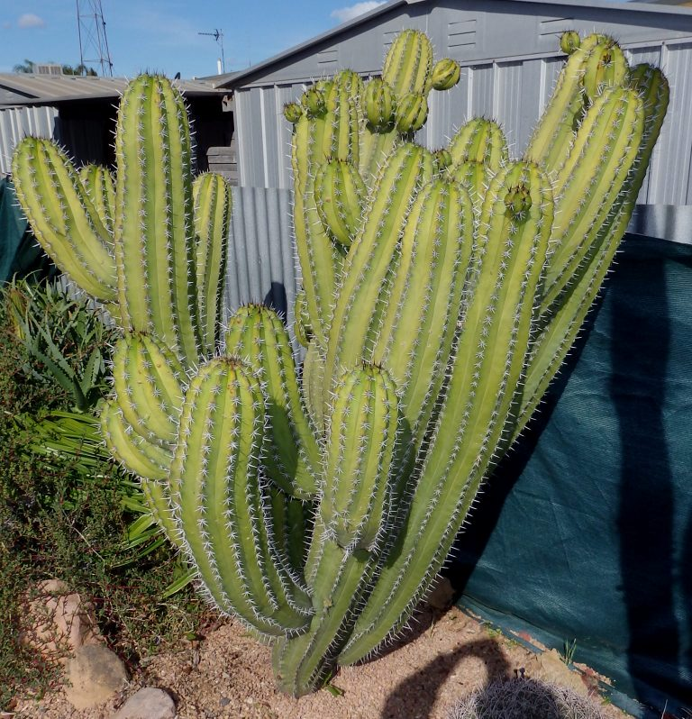 Help with two large Cacti ID Tall_210