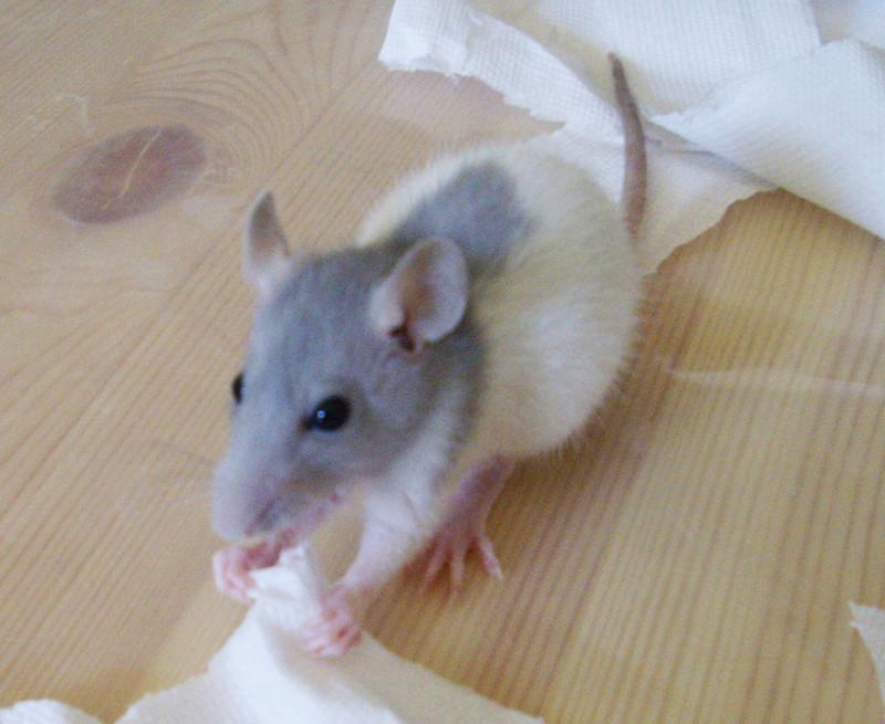 Couleur de mes rats ? Shubi111