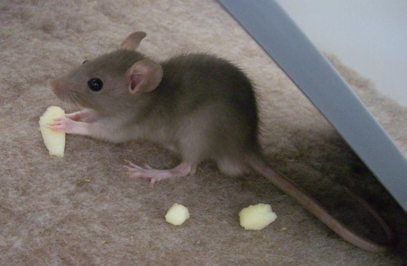 Couleur de mes rats ? Yogo1110