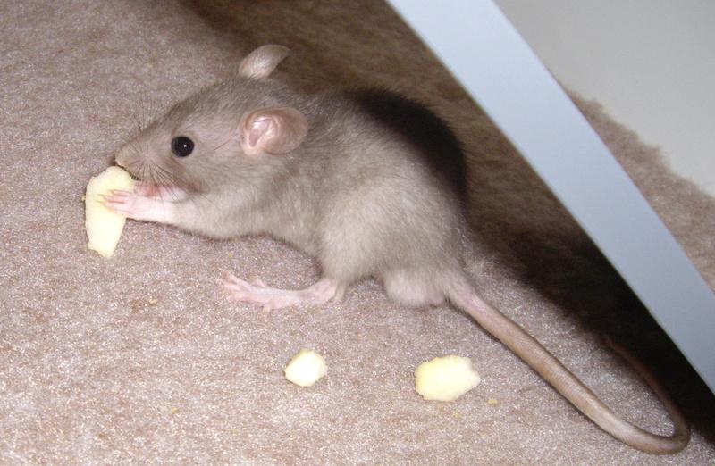 Couleur de mes rats ? Yogo2110