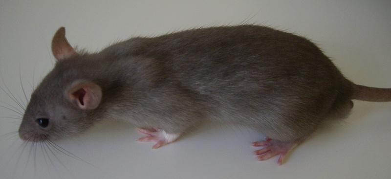 Couleur de mes rats ? Yogosa10