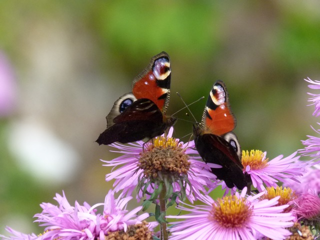 papillons du jardin 011111