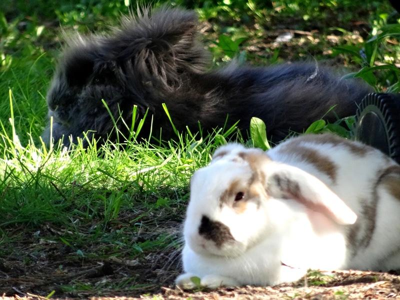 Nina, lapine bélier, née en aout 2011 - Page 9 Dsc02710
