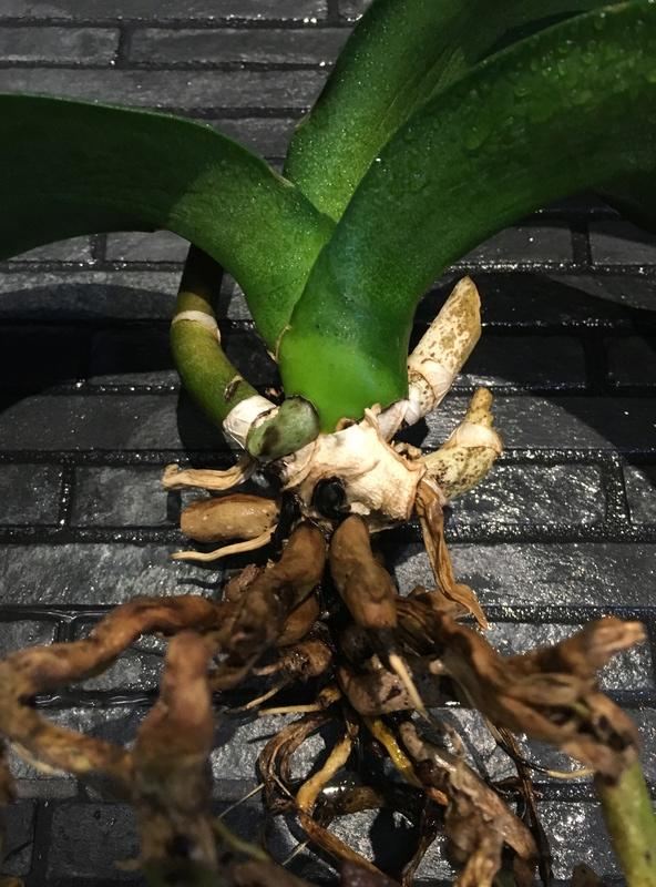 Phalaenopsis  Realistische Einschätzung - Ist sie noch zu retten? Img_4211