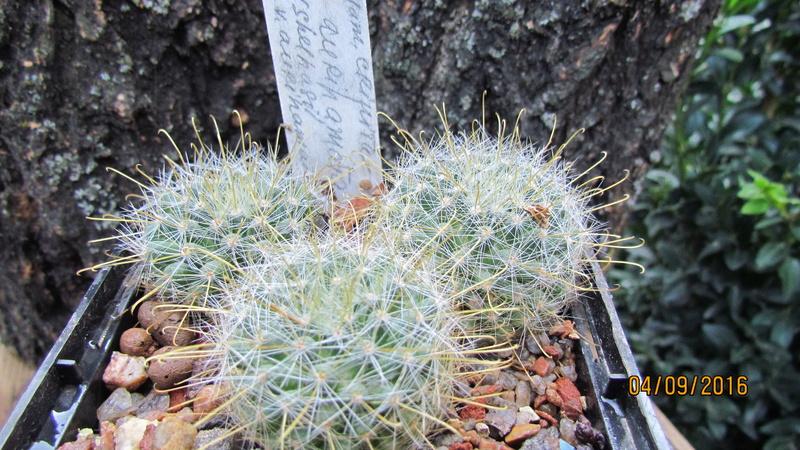 Cacti on logs. M_auri11