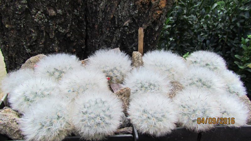 Wait and see. Mammillaria is everything. M_boc_10
