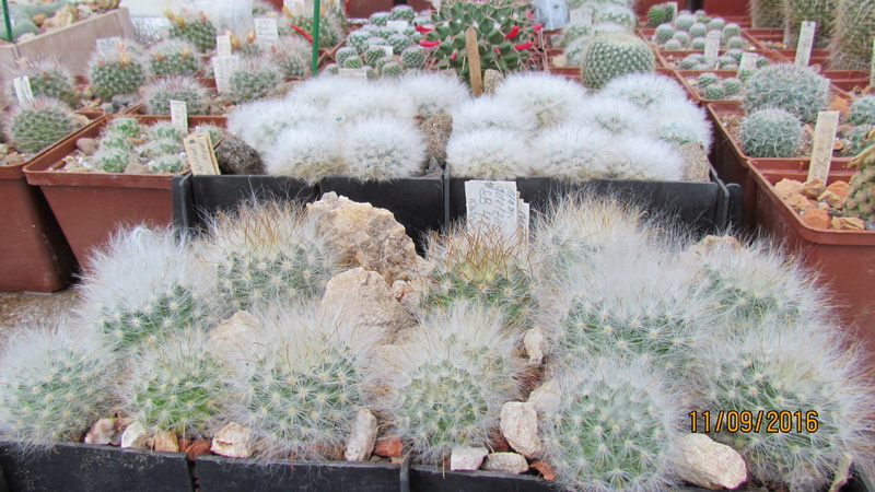 Wait and see. Mammillaria is everything. M_guel10