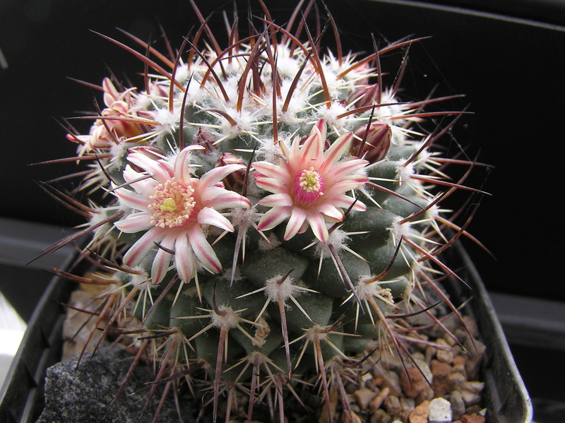 Wait and see. Mammillaria is everything. M_wagn10