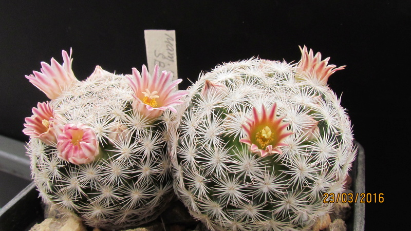 Wait and see. Mammillaria is everything. M_wohl10