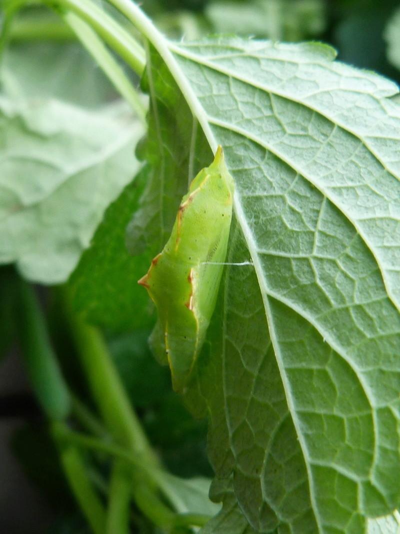 Chenille de Pieris rapae.... & chrysalide inconnue voir Pararge aegeria..... 1_chry10