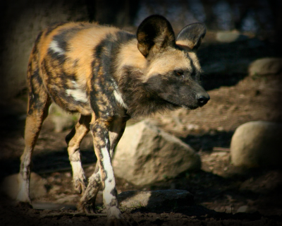 Acceptable Canine Breeds Africa10