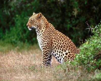 Acceptable Feline Breeds Africa11