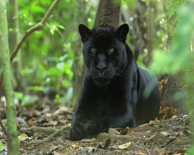 Acceptable Feline Breeds Black_10