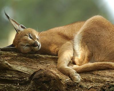 Acceptable Feline Breeds Caraca11