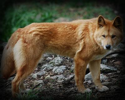 Acceptable Canine Breeds Dingo10