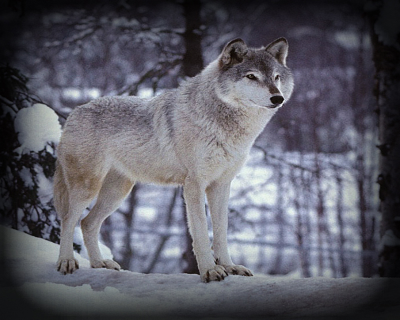 Acceptable Canine Breeds Grey_w10