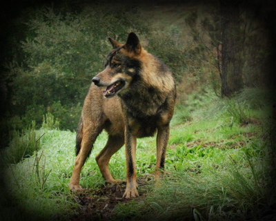 Acceptable Canine Breeds Iberia10