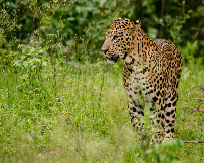 Acceptable Feline Breeds Indian10