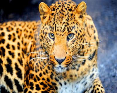 Acceptable Feline Breeds Jaguar10