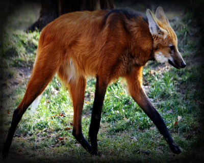 Acceptable Canine Breeds Maned-10