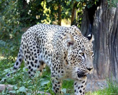 Acceptable Feline Breeds Persia10