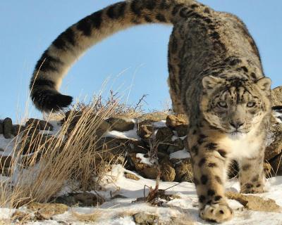Acceptable Feline Breeds Snow-l11