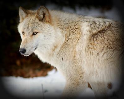 Acceptable Canine Breeds Tundra10