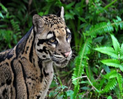 Acceptable Feline Breeds Wild-c10