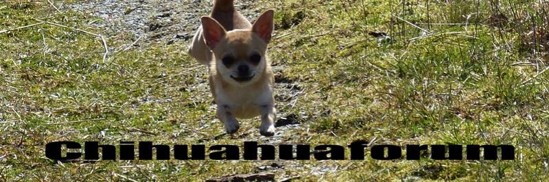 Chihuahuaforum