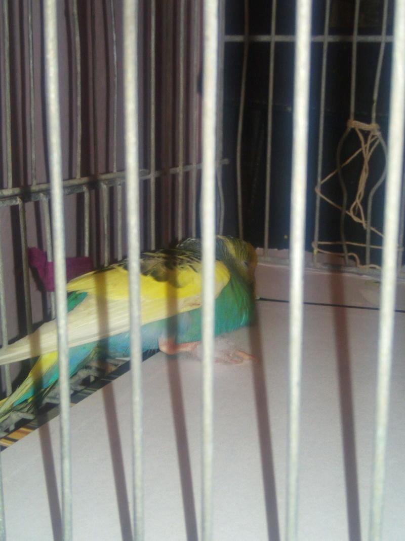 perruche paralysé des 2 pattes  Img_2011