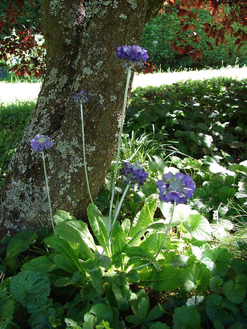 Comment cultiver Primula capitata ? 07110