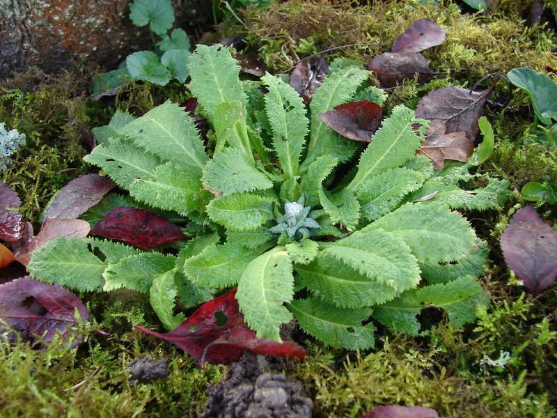 Comment cultiver Primula capitata ? 07210