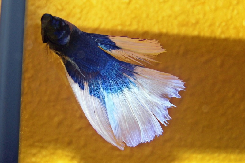 Pixel betta HM P1050010