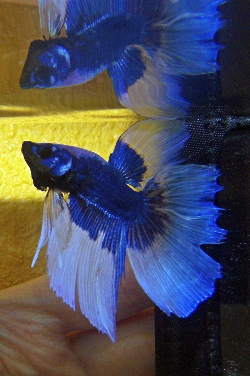 Pixel betta HM P1050011